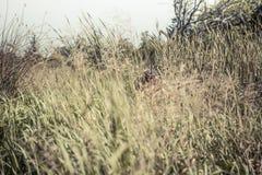 Scène de chasse avec l'homme de chasseur visant dans l'herbe grande dans l'embuscade avec le fusil de chasse pendant la saison de photographie stock