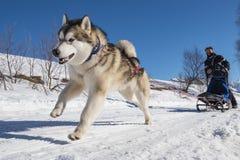 Scène de chien de traîneau Photo libre de droits