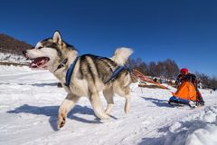 Scène de chien de traîneau Photos libres de droits