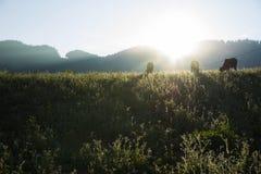 Scène de coucher du soleil avec des vaches mangeant l'herbe sur le pré Images stock