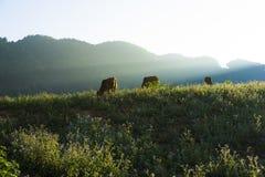 Scène de coucher du soleil avec des vaches mangeant l'herbe sur le pré Photos stock