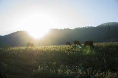 Scène de coucher du soleil avec des vaches mangeant l'herbe sur le pré Photographie stock libre de droits