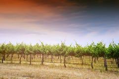 Scène de coucher du soleil de vigne Photos stock