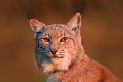 Scène de faune avec le chat sauvage de l'Europe Chat sauvage Lynx dans l'habitat de forêt de nature Eurasien en gros plan Lynx da Images stock