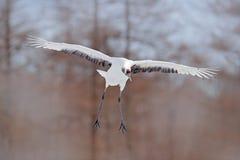 Scène de faune de l'hiver Japon Hiver froid avec le grand oiseau de vol blanc Grue dans la mouche Grue Rouge-couronnée par oiseau Photo stock