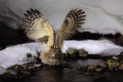 Scène de faune, hiver Hokkaido, Japon Oiseau de rivière avec les ailes ouvertes Hibou de poissons du ` s de Blakiston, blakistoni Images stock