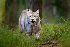 Scène de faune de nature Lynx eurasien de marche, comportement animal dans l'habitat Chat sauvage d'Allemagne Chat sauvage sauvag Photo libre de droits