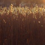 Scène de nature éclairée à contre-jour par roseaux avec la lumière du soleil rougeoyante Photo libre de droits