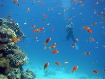 Scène de récif coralien avec des plongeurs Photographie stock