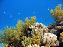 Scène de récif coralien (coraux mous) Images stock