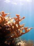 Scène de récif coralien de klaxon d'élans Photographie stock libre de droits