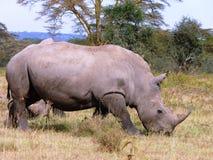 Scène de rhinocéros du Kenya Image libre de droits