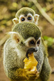 Scène de singe d'araignée Images libres de droits
