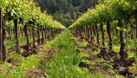 Scène de vigne de Napa Valley Photographie stock libre de droits