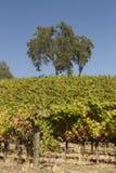 Scène de vignoble de la Californie images libres de droits