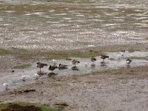 Scène des oies canadiennes se tenant stationnaires dans une ligne dans un petit Photos stock