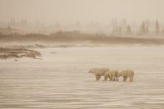 Scène floue et hivernale : Ours blanc et CUB croisant le lac congelé Photo stock