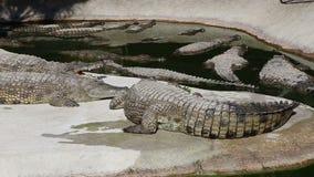 Scène met Grote Krokodil stock video