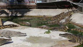 Scène met Grote Krokodil stock videobeelden