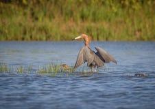 Scène naturelle de héron rougeâtre pataugeant dans l'étang Image stock