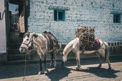 Scène rurale avec des ânes au Guatemala Photo stock
