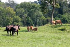 Scène rurale avec des chevaux et des vaches Photos stock