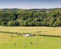 Scène rurale avec des moutons Photo libre de droits