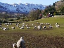 Scène rurale comportant des moutons dans le secteur de lac Image stock