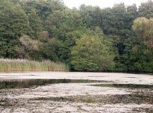 Scène sale supérieure de foulques maroules d'algues de lac avec l'été d'arbres photo libre de droits