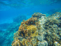 Scène sous-marine avec le récif coralien Grands coraux avec de petits poissons Photo libre de droits