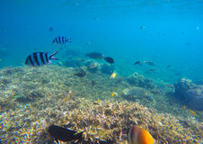 Scène sous-marine avec les poissons exotiques colorés Eau de mer bleue au-dessus des coraux pointus Image libre de droits