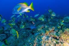 Scène sous-marine avec un banc des poissons tropicaux jaunes images stock