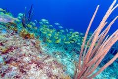 Scène sous-marine avec un banc des poissons tropicaux jaunes images libres de droits