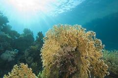 Scène sous-marine de récif coralien avec le corail d'incendie Image stock