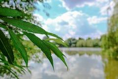 Scène tranquille des feuilles de saule vues à côté d'un grand lac Photos stock