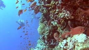 Scène tropicale de mur de récif coralien avec des bancs des poissons banque de vidéos