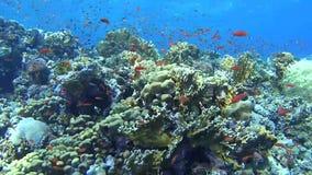 Scène tropicale de récif coralien avec des bancs des poissons banque de vidéos