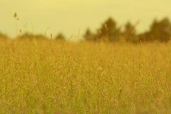 Scène van het zonnige stro van het de zomer hoge gras in het platteland Stock Afbeelding