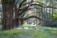 小橡树结构树,查尔斯顿SC 免版税图库摄影