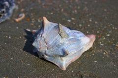 Sc de Shell Bulls Island de conque photos stock