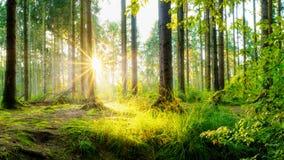Sc?ne merveilleuse dans une for?t ? la lumi?re du soleil de matin photographie stock libre de droits