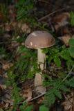 Scaber茎(Leccinum scabrum) 免版税库存图片