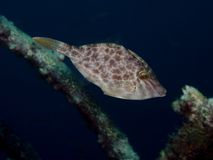 Scaber de velours Leatherjacket - de Meuschenia Photo stock