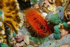 Scaber marinho de Ctenoides do molusco bivalve subaquático fotos de stock royalty free