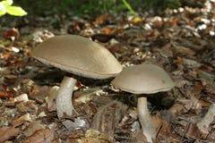 Scaber stalk or birch bolete mushroom Royalty Free Stock Images