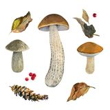 Scaber stalk Birch bolete mushrooms watercolor illustration Royalty Free Stock Image