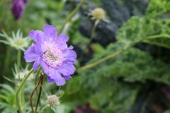 Scabia scabiosa blue purple flower. The purple blue flower of a scabiosa scabia stock photo