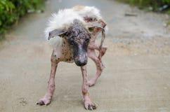 Scabies狗 免版税库存图片