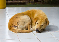 Scabies dog lying. Royalty Free Stock Photos