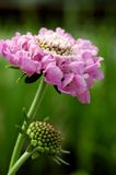 Scabiosa « brouillard rose » Images stock
